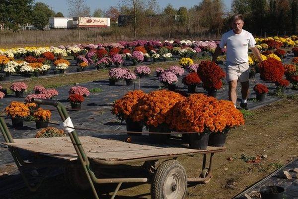 La préparation des chrysanthèmes pour la Toussaint chez Challet-Hérault à Nuaillé dans le Maine-et-Loire