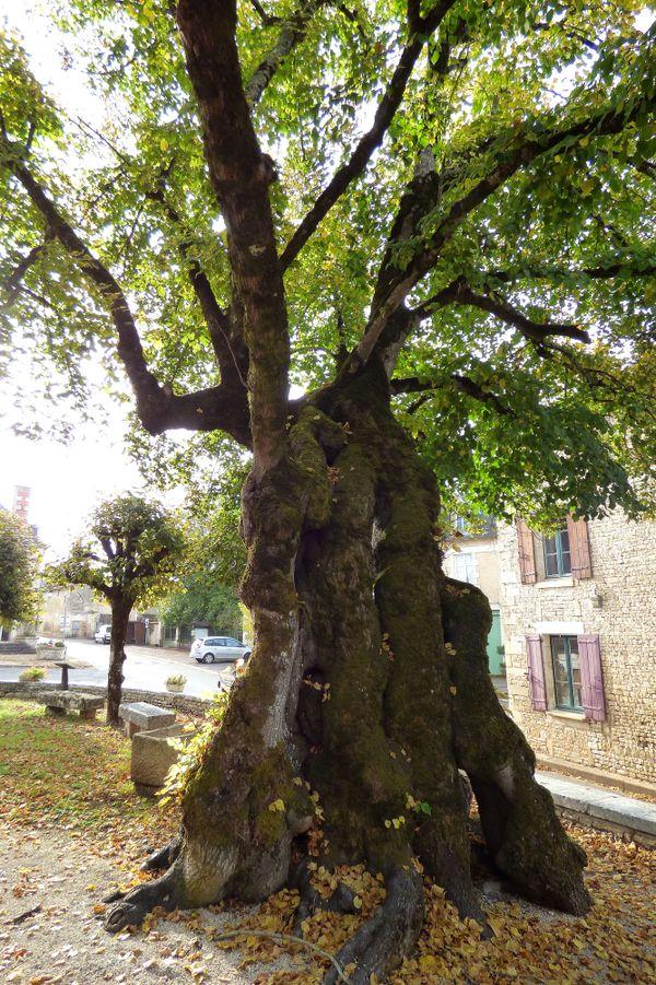 Cet arbre à la silhouette difforme est probablement le plus connu du département.