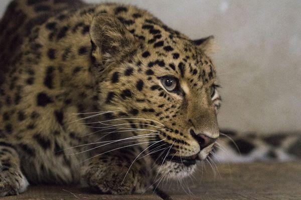 Suyiana, la panthère de l'Amour accueillie au parc animalier d'Auvergne, est âgée de 7 ans.