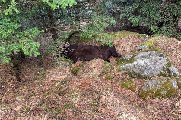 L'ours Cachou retrouvé mort par les agents ruraux catalans sur la commune de Les en Val d'Aran