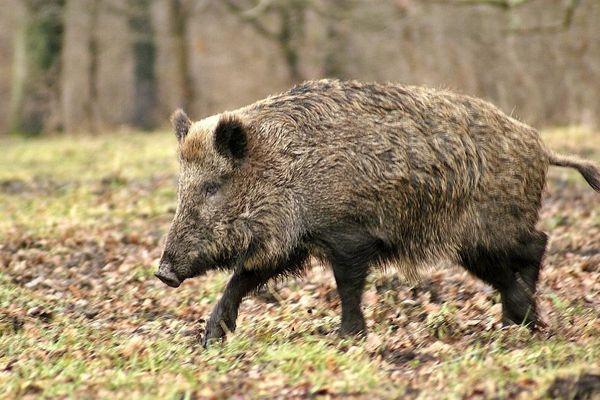 Malgré la fermeture de la chasse, les battues au sanglier vont continuer dans la zone frontalière.
