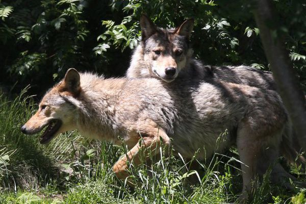Deux arrêtés ministériels viennent d'être publiés au Journal Officiel concernant la régulation du loup.