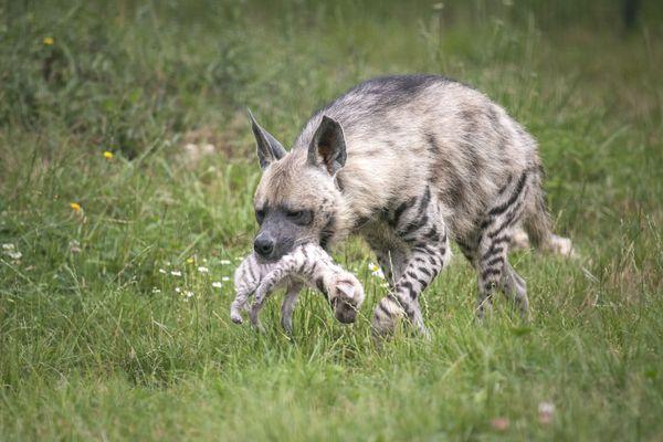 Une hyène rayée avec son petit