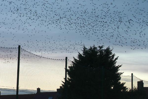 Les milliers d'étourneaux sansonnet dans le ciel d'Hondschoote lors d'une chorégraphie aérienne qu'on appelle murmuration.