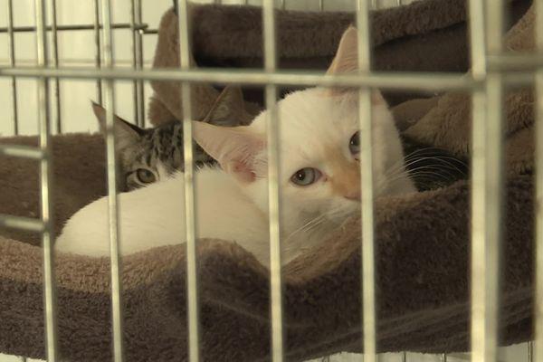 Depuis le 1er mai, 68 % des animaux recueillis par la SPA sont des chats.