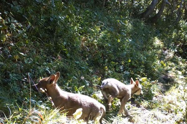 Deux petits louveteaux ont été filmés dans une forêt non loin de Valloire, en Savoie, à l'été 2020.