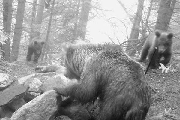 Les deux oursons photographiés avec leur mère