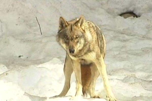 Canis Lupus, nom latin du loup, vient directement d'Italie.