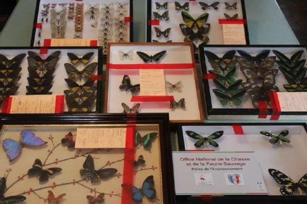 Des dizaines de papillons ont été saisis lors de l'opération Satanas.