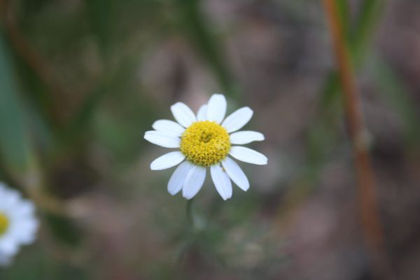 Fraîche ou séchée, la fleur de la famille de la camomille a aussi des vertus apaisantes.