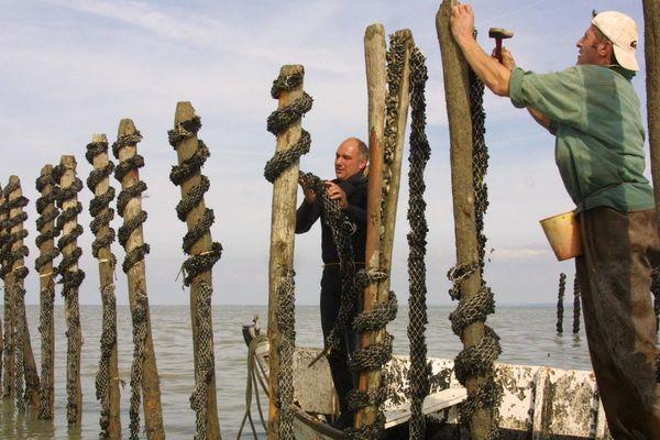 Dans certaines exploitations la mortalité des moules a atteint 90%