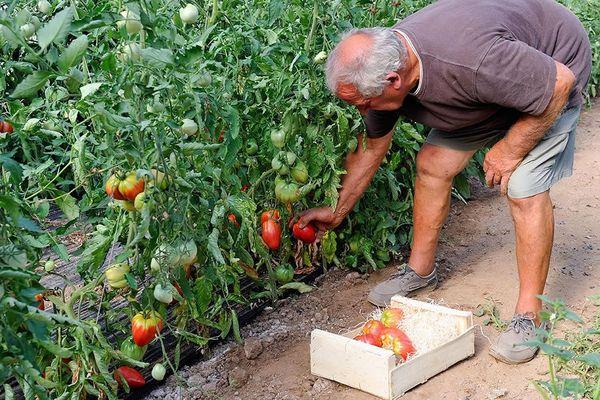 Ramassage de tomates bio