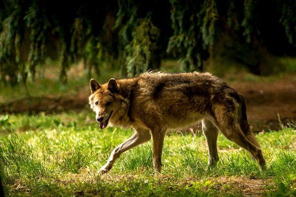 Image d'illustration d'un loup du parc animalier de la Bourbansais à Pleugueneuc en Bretagne.