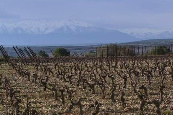 Plusieurs hectares de muscat d'Alexandrie dans l'Aude