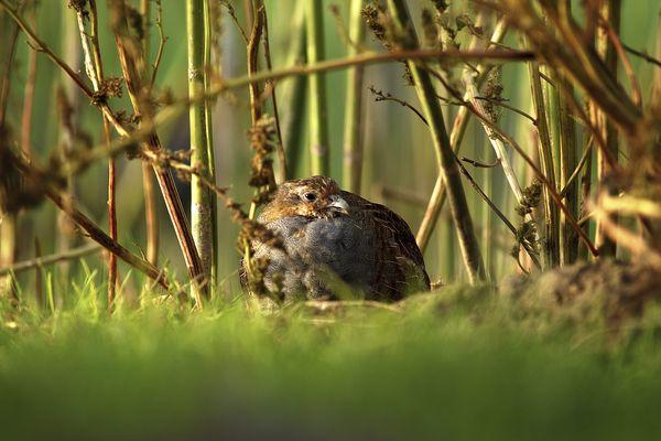 La perdrix grise dont la chasse est autorisée mais limitée en Ariège par un arrêté préfectoral, régulièrement attaqué devant le tribunal administratif