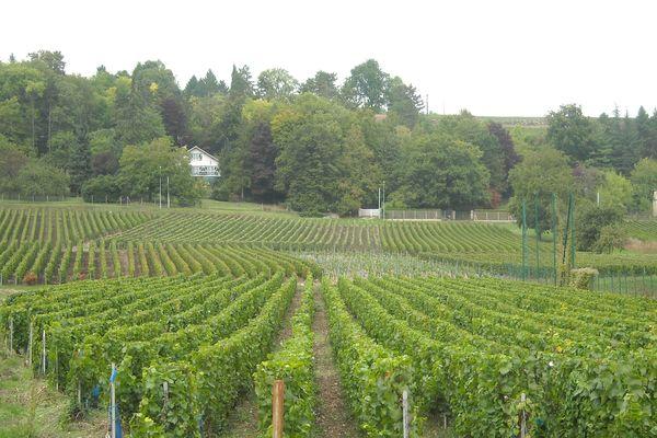 Les vignes de Nanteuil sur Marne