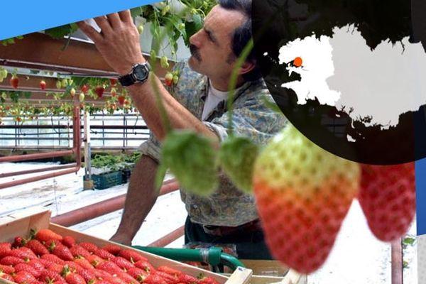 """Plougastel-Daoulas : un fraisiculteur ramasse des fraises cultivées selon la technique """"hors-sol"""""""
