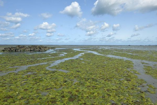 La baie d'Hillion, ici en août 2014, a souvent été le théâtre d'échouages d'algues vertes.