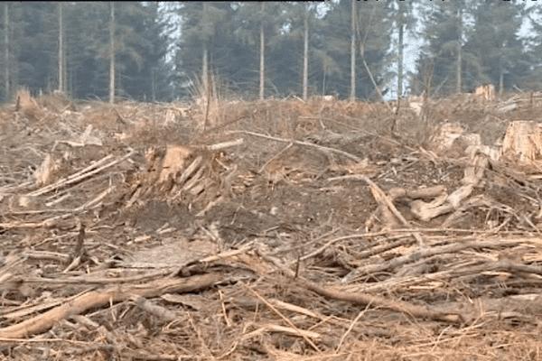 A Loudéac, pour combattre le dendroctone, l'ONF a du se résoudre à abattre 230 hectares de forêt.