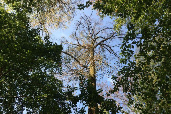 En forêt du Corgebin, près de Chaumont, les agents de l'ONF constatent les dégâts. D'après eux, la sécheresse actuelle devrait avoir des conséquences encore plus graves que la tempête de 1999.