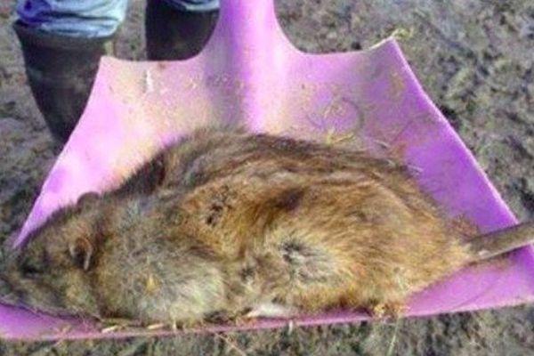 Cet énorme rat a été découvert à Gravesend, dans le Kent, au sud-est de Londres.