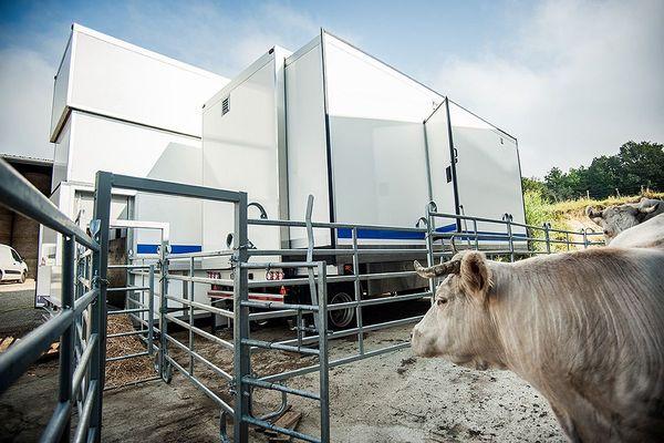 Une des bêtes d'Émilie Jeannin devant l'abattoir mobile, fin août 2021 à Beurizot en Côte-d'Or.