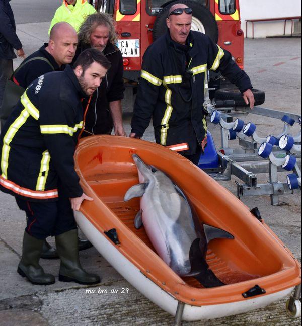 Les pompiers remettent à l'eau le dauphin