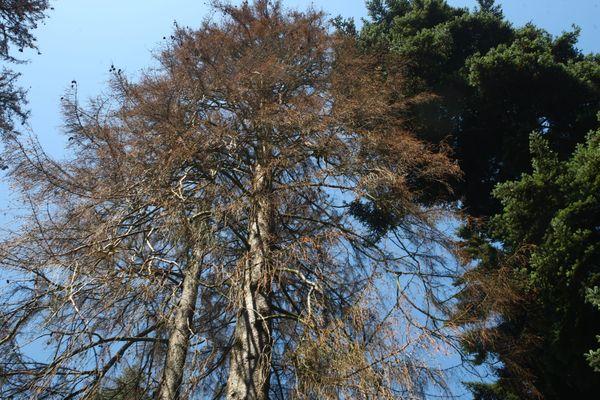 Dans le massif du Somail, le constat est sans appel, de nombreux épicéas sont totalement secs.