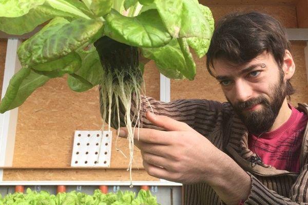 Les salades poussent dans des bacs, les racines puisant les éléments nécessaires au développement de la plante dans l'eau enrichie par les poissons.