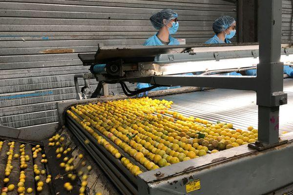 Les mirabelles sont triées dès leur arrivée chez Vegafruits à Saint-Nicolas-de-Port.