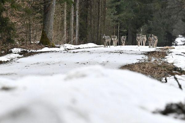 Le photographe jurassien Fabien Bruggmann face à une meute de loups dans la forêt de Bialowieza en Pologne.