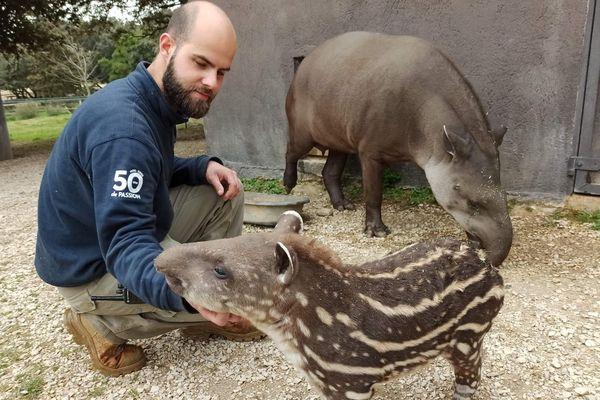 Deux tapirs et un soigneur au zoo de la Barben (13)