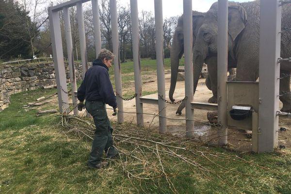 Une bonne ration de branchages est nécessaire chaque jour pour équilibrer le menu des éléphants du PAL