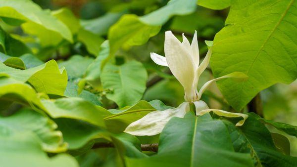 Fleur de magnolia parasol