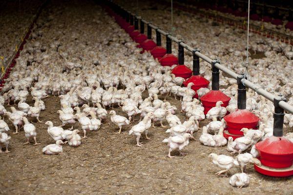 Dans un élevage de poulet dans la Sarthe