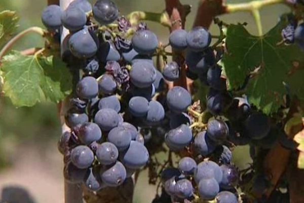 La culture de la vigne biologique nécessite beaucoup d'efforts