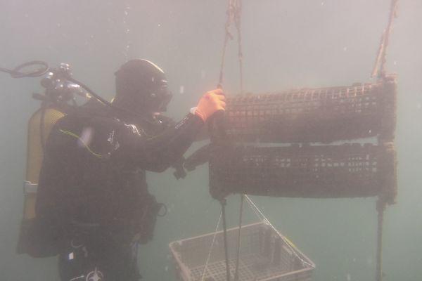 Les huîtres sont placées dans des cages métalliques à plusieurs mètres de profondeur.