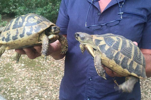 Deux tortues d'Hermann à la Cupulatta, protégées, elles, dans le parc animalier A Cuppulata, à Vero.