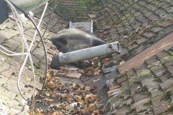Un sanglier coincé sur le toit d'une maison à Seignelay dans l'Yonne - 1er novembre 2017