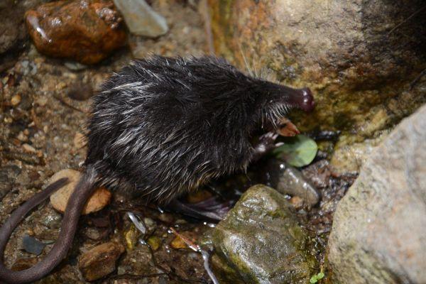 Le desman des Pyrénées ou rat trompette fait partie des 79 espèces animales répertoriées comme vulnérables en France par le Centre de surveillance de la conservation de la nature - novembre 2020