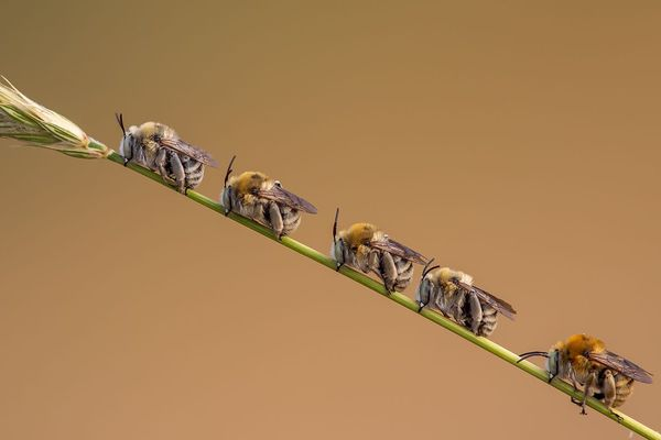 Ces abeilles sauvages se réunissent en fin de journée sur une même tige ... pour passer la nuit en groupe.
