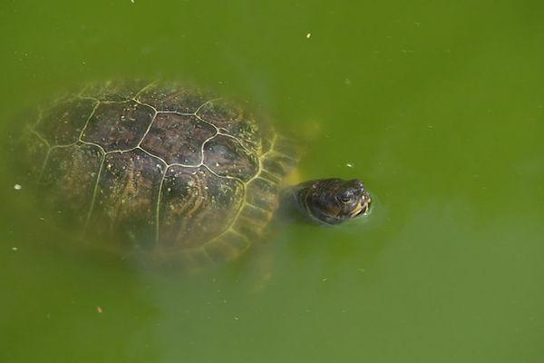 Une tortue cistude d'Europe, menacée par la remise en liberté de tortues de Floride.