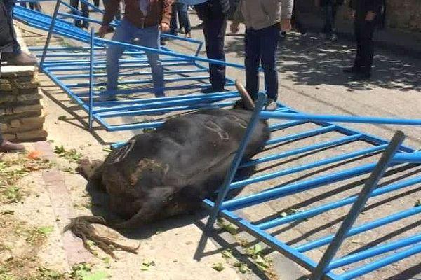 Vergèze (Gard) - le taureau fou ayant foncé dans la foule a été abattu par les gendarmes - mai 2019.