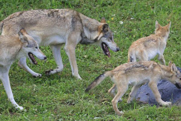 La meute des 9 loups du Canada est composée de Nanouk, le mâle, et Nita, la femelle, et de leurs 7 petits.