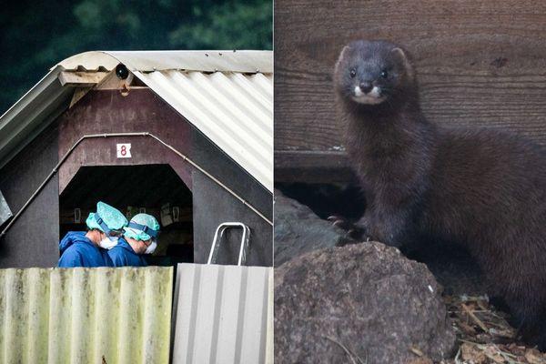 L'abattage de visons contaminés par le coronavirus a débuté samedi dans un élevage de Deurne, dans le sud des Pays-Bas (image d'illustration à droite).