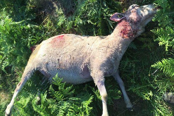 Dix brebis d'un troupeau ont été attaquées près de Murat-sur-Vèbre, dans le Tarn.