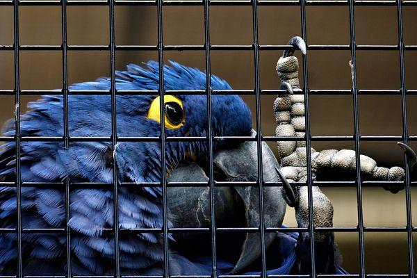 Un perroquet bleu agrippe les barreaux de sa cage- Photo d'illustration