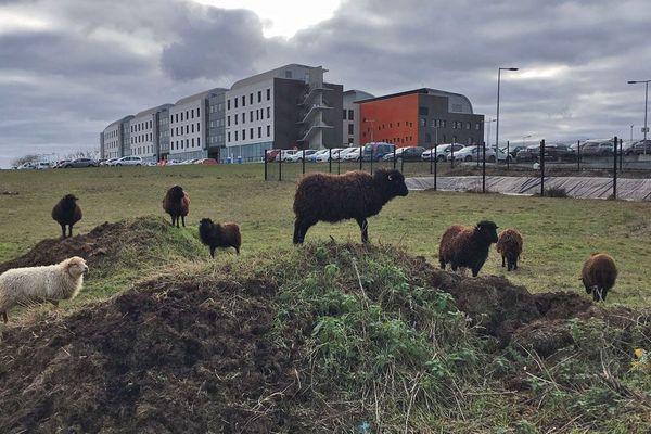 Janvier 2019 : des moutons près de l'hôpital d'Evreux pour entretenir les pelouses