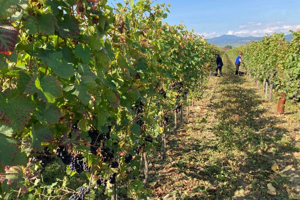 Sur le domaine Stentz, les parcelles s'étendent sur les bans viticoles de Colmar, mais aussi à Eguisheim et Riquewihr.