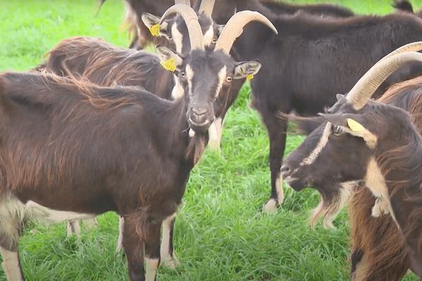 Pernelle Desailly élève des chèvres à Nouic, en Haute-Vienne, pour une production locale et biologique depuis 2014.